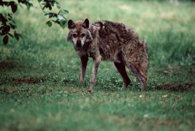 Photo: The Iranian gray wolf (endangered).