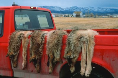 Photo: Four wolf pelts lie draped over the back of a federal official's truck near Helena, MT. These wolves once formed a pack that was killed to assuage local ranchers' fears that they might someday kill cattle.