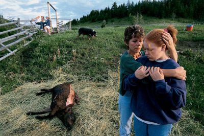 Photo: Hayley Jolma, is comforted by her mother, Karen Jolma, after they discovered that one of the family's calves had been killed by wolves in the night.