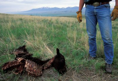 Photo: Carter Niemeyer, a USFWS employee, stands over a calf that was killed by a wolf pack near Red Deer, MT. Wolves very seldom kill cattle.