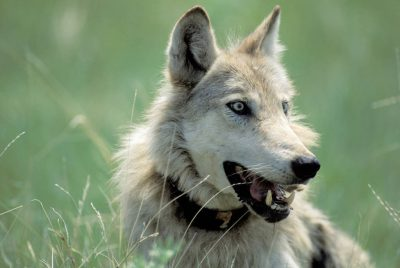 Photo: For fear she and her pack might harm cattle, Opal was captured and collared by USFWS workers.