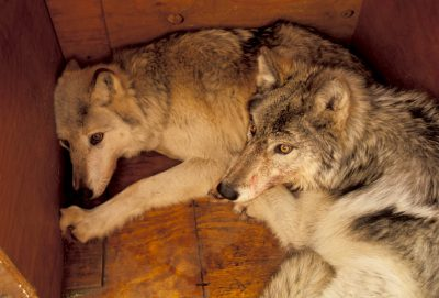 Photo: Two wild gray wolves wait to be released into the acclimation pen in Yellowstone National Park as part of the reintroduction program.