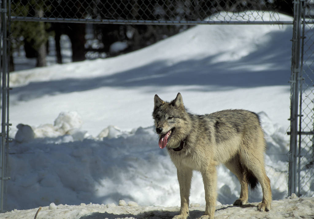 Photo: Wild gray wolf waiting to leave the acclimation pen at Yellowstone National Park as part of the reintroduction program.