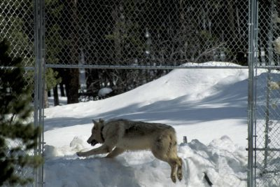 Photo: Wild gray wolf leaving the acclimation pen at Yellowstone National Park as part of the reintroduction program.