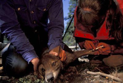 Photo: Volunteers give gray wolf pup its shots in an acclimation pen in Yellowstone National Park.