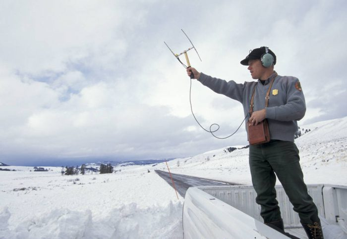 Photo: Mike Phillips, former director of the Yellowstone wolf reintroduction program uses radio telemetry to track wild gray wolves recently released into the park.