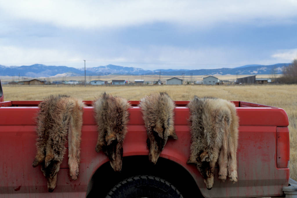 Photo: Four wolf pelts lie draped over the back of a federal official's truck near Helena, MT. These wolves once formed a pack that was killed to assuage local ranchers' fears that theymight someday kill cattle.