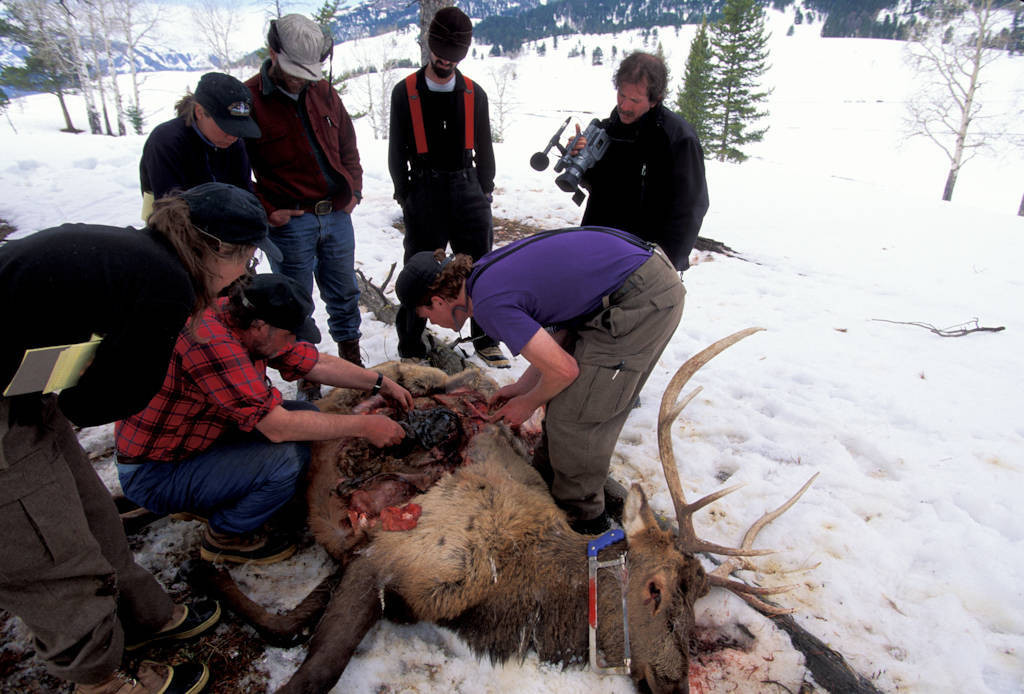 Photo: Wolf biologists in Yellowstone National Park examine a dead elk for signs of wolf predation.