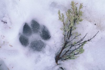 Photo: The footprint of a wild gray wolf in the snow in Yellowstone National Park.