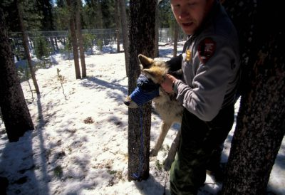 Photo: A gray wolf is prepared for reintroduction into Yellowstone National Park.