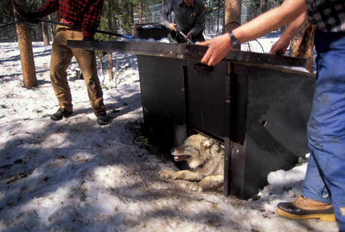 Photo: A gray wolf released into Yellowstone National Park.