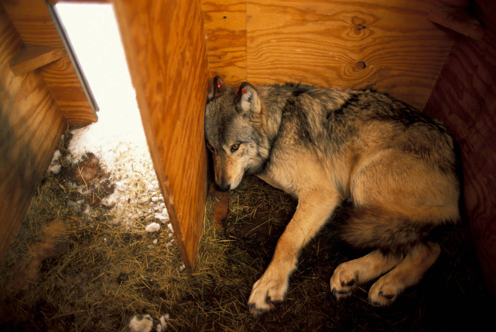 Photo: A wild gray wolf waits to be released into the acclimation pen in Yellowstone National Park as part of the reintroduction program.