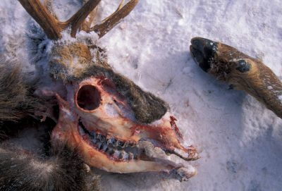 Photo: A wolf-killed elk carcass in Yellowstone National Park.