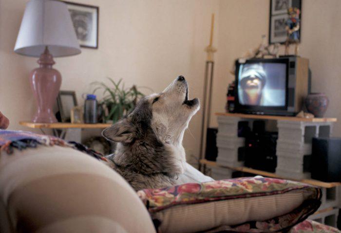 Photo: Shannon Prendergast of Bozeman, MT with his wolf-dog, Nuska.