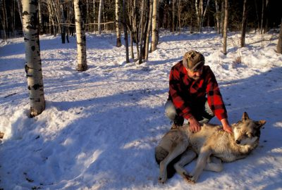 Photo: David Mech, one of North America's foremost wolf experts, with one of the residents of Ely, Minnesota's International Wolf Center.