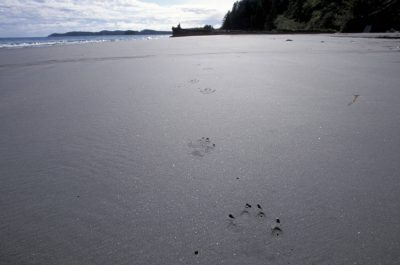 Photo: Wolf tracks on a beach in Clayoquot Sound, British Columbia.
