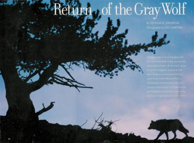 Photo: The opening spread for Gray Wolves in the May 1998 issue of National Geographic Magazine.