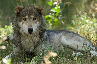 A federally endangered gray wolf (Canis lupus) at Zoo Montana.