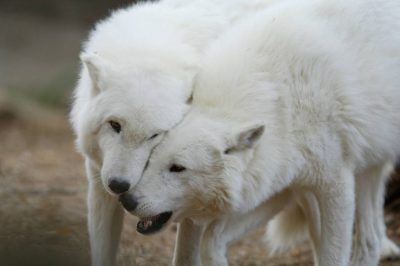 Photo: Arctic wolves (Canis lupis) at the Denver zoo.
