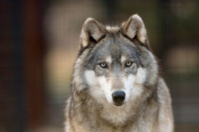 A federally endangered gray wolf (Canis lupus) at the Rolling Hills Wildlife Adventure.