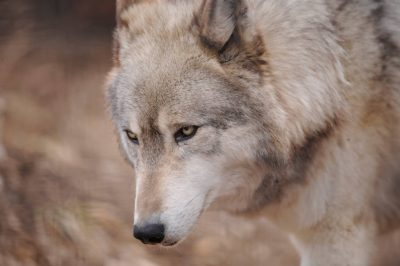 A federally endangered gray wolf (Canis lupus) at the Rolling Hills Wildlife Adventure, Salina, KS.