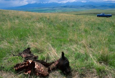 Photo: A calf that was killed by a wolf pack near Red Deer, MT. Wolves very seldom kill cattle.