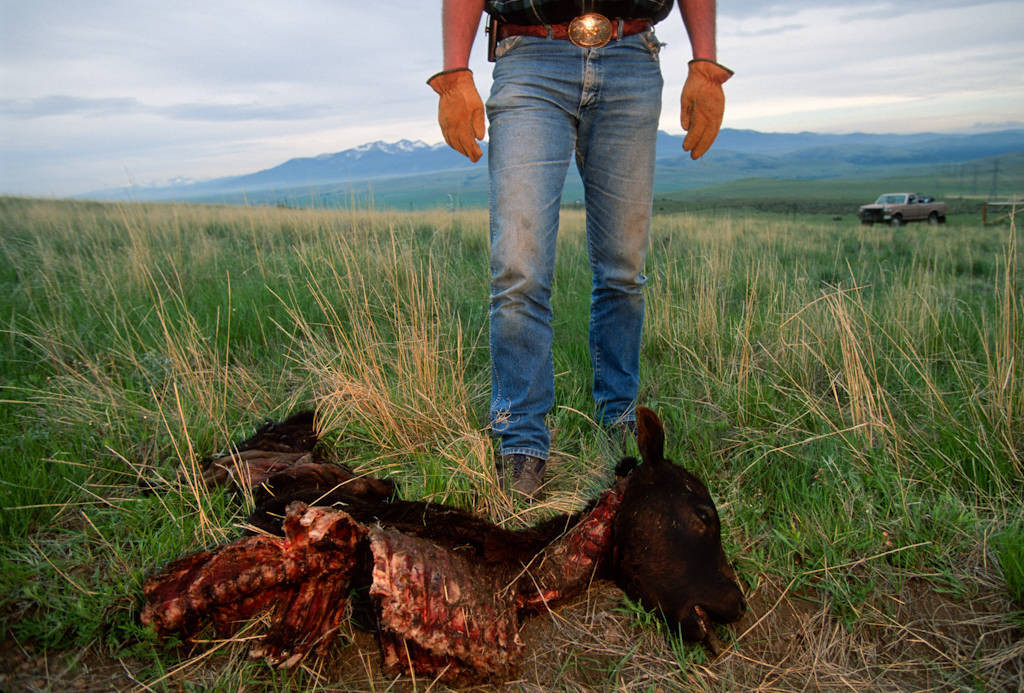 Photo: A USFWS employee, stands over a calf that was killed by a wolf pack near Red Deer, MT. Wolves very seldom kill cattle.
