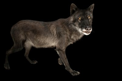 A federally endangered timber wolf (Canis lupus) named Kenai at the New York State Zoo.