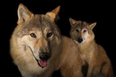 Picture of female Himalayan wolves (Canis lupus himalayensis) at the Padmaja Naidu Himalayan Zoological Park, in Darjeeling, India.