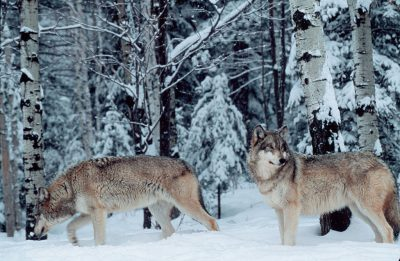 Photo: Captive gray wolves at the International Wolf Center in Ely, MN.
