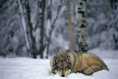 Captive, federally endangered gray wolf at the International Wolf Center in Ely, MN.