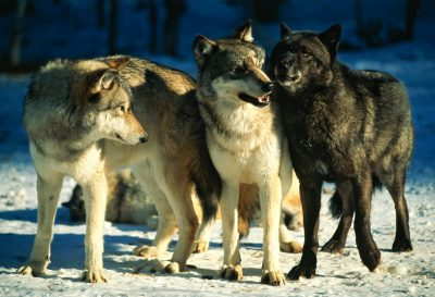 Photo: captive wolves at the International Wolf Center in Minnesota display pack behavior.