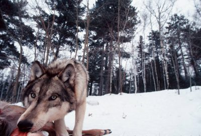 Photo: A wolf at the International Wolf Center in Ely, MN, takes a bite of a road-killed deer.