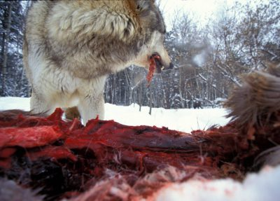 Photo: A wolf at the International Wolf Center in Ely, MN, snarls over a road-killed deer, defending its meal from other wolves.