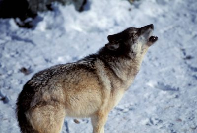 Photo: A captive gray wolf howls at the International Wolf Center in Ely, Minnesota.