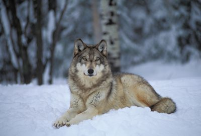 Photo: Captive gray wolf at the International Wolf Center in Ely, MN.
