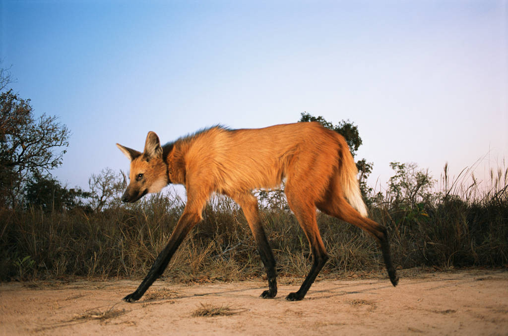 Photo: A maned wolf takes its own picture by triggering a camera trap's infra-red beam in Brazil's Pantanal.