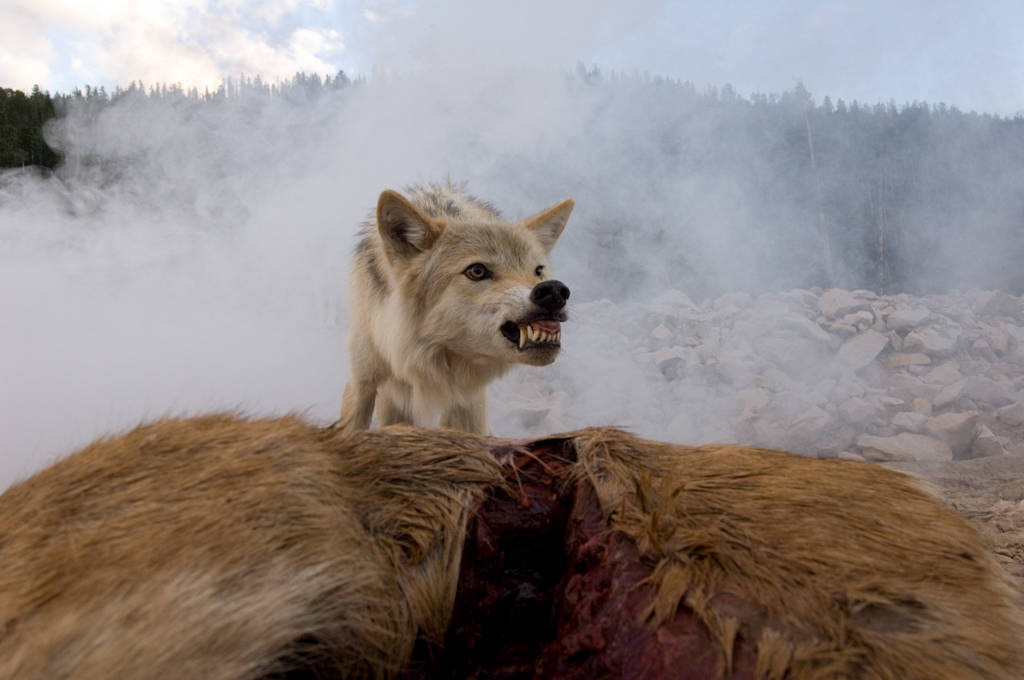 Photo: A trained wolf snarls at the camera near Heber City, Utah.